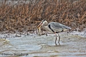 1392 Great Blue Heron, Fishing, Hagerman National Wildlife Refuge, TX
