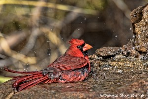 1396 Male Northern Cardinal. Palo Duro Canyon State Park, TX