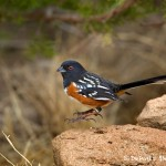 1396 Spotted Towhee. Palo Duro Canyon State Park, TX