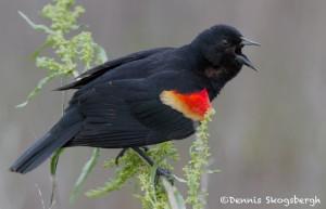 1472 Red-winged Blackbird, Hagerman, National Wildlife Refuge, TX