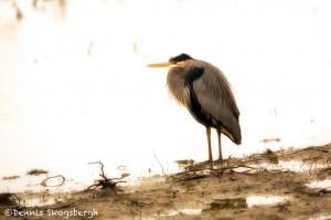 1480 Great Blue Heron, Hagerman National Wildlife Refuge, TX