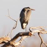 1482 Great Blue Heron, Hagerman National Wildlife Refuge, TX
