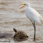 1498 Great Egret - Turtle