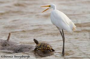 1498 Great Egret - Turtle