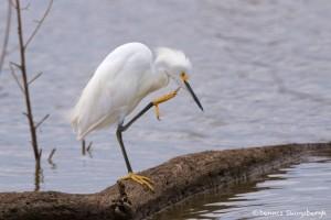 1521 Snowy Egret (Egretta thula), Hagerman National Wildlife Refuge, TX