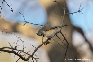 1529 Tufted Titmouse, Wichita Mountains National Wildlife Refuge, OK