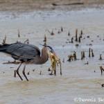 1542 Great Blue Heron, Hagerman National Wildlife Refuge, TX