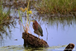 1550 Green Heron (Butorides virescens)