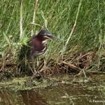 1551 Green Heron (Butorides virescens)