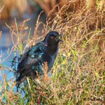 1566 Boat-tailed Grackle (Quiscalus major)