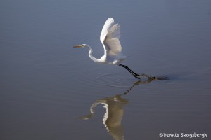 1570 Great Egret (Ardea alba)
