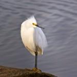 1576 Snowy Egret