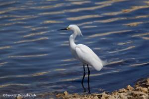 1579 Snowy Egret (Egretta thula), Hagerman National Wildlife Refuge, TX