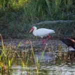 1590 White Ibis (Eudocimus albus)