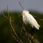 1618 Snowy Egret (Egretta thula)