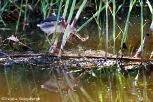 1620 Juvenile Green Heron, Fishing