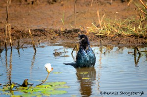 1625 Boat-tailed Grackle (Quiscalus major), Bathing
