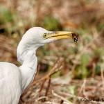 1630 Cattle Egret (Bubulcus ibis), Non-breeding Plumage