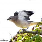1631 Northern Mockingbird (Minimus polyglottos)