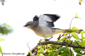 1631 Northern Mockingbird (Minimus polyglottos)