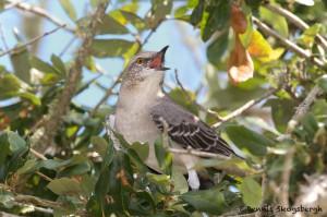 1632 Northern Mockingbird (Minimuns poluglottos)