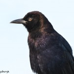 1638 Male Boat-tailed Grackle (Quiscalus major)