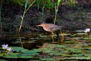 1642 Green Heron (Butorides virescens)