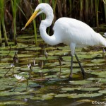 1653 Great Egret Feeding (Ardea alba)