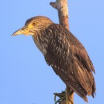 1655 Black-crowned Night Heron, Immature (Nyctiorax nycticorax)