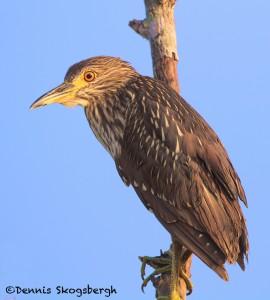 1655 Black-crowned Night Heron, Immature (Nyctiorax nycticorax)