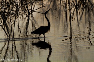 1814 Early Morning, Great Blue Heron Fishing