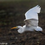 1827 Great Egret (Ardea alba)