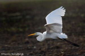 1827 Great Egret (Ardea alba)