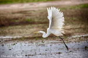 1828 Great Egret (Ardea alba)