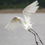1829 Great Egret (Ardea alba)