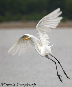 1829 Great Egret (Ardea alba)