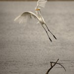1830 Great Egret (Ardea alba)