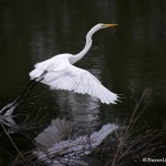 1831 Great Egret (Ardea alba)