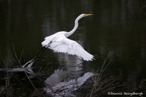 1831 Great Egret (Ardea alba)