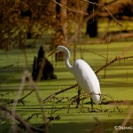1833 Great Egret (Ardea alba)