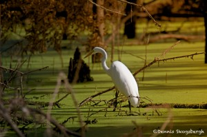 1833 Great Egret (Ardea alba)