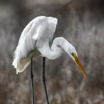 1837 Great Egret (Ardea alba)