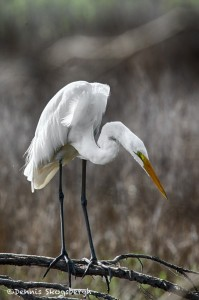 1837 Great Egret (Ardea alba)