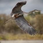 1880 Great Blue Heron (Ardea herotias)