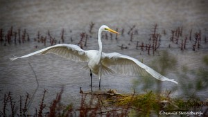 1882 Great Egret (Ardea alba)