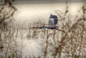 1883 Great Blue Heron (Ardea herodias)