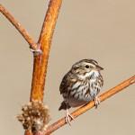 1885 Savannah Sparrow (Passerculus sandwichensis)