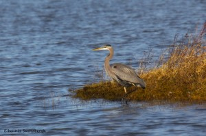 1902 Great Blue Heron (Ardea herodias)