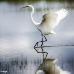 1926 Great Egret (Ardea alba)
