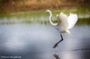 1926 Great Egret (Ardea alba)